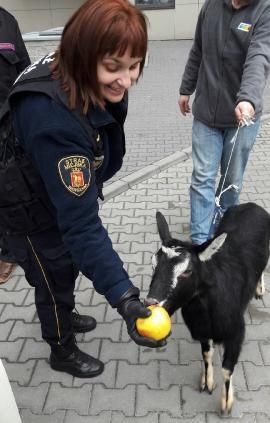 """""""Schwytana"""" koza /RMF FM"""