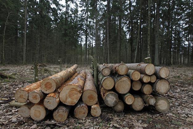 Ścięte drzewa w Puszczy Białowieskiej /PAP