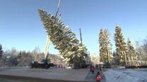 Ścięto choinkę, która stanie na Kremlu. Drzewo ma 30 metrów i liczy koło stu lat