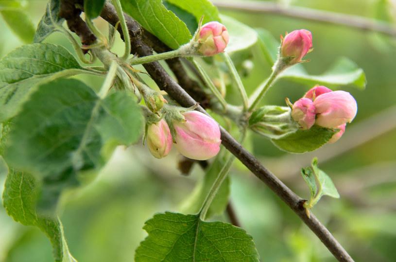 Sekatorem można skrócić przyrosty, ale nie krótkopędy, bo to na nich rozwiną się wiosną kwiaty /123RF/PICSEL
