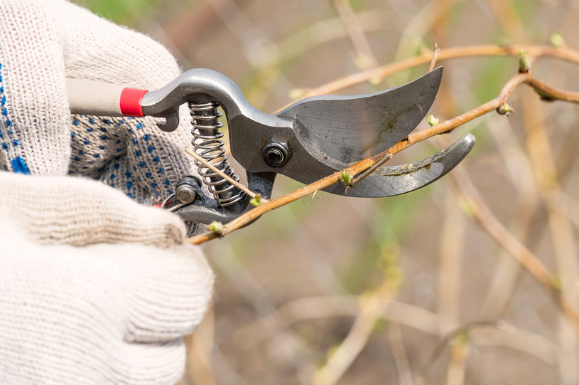 Sekatorem odetnij pęd od rośliny /123RF/PICSEL