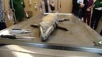 Sekcja zwłok krokodyla wyłowionego z Warty