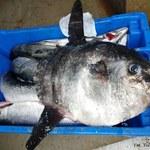 Sensacja na Mierzei Wiślanej. Samogłów w sieci rybackiej