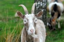 Serbia: Koza zjadła 20 tys. euro w gotówce