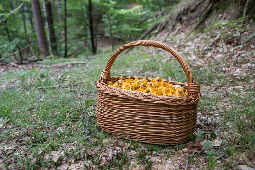 Sezon na grzyby właśnie się rozpoczął. Mapa grzybów powie ci, gdzie znajdziesz najlepsze! /123RF/PICSEL
