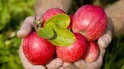 Sezon na jabłka w Holandii
