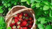 Sezon na truskawki. Soczysty smak lata