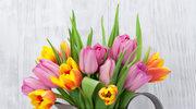 Sezon na tulipany