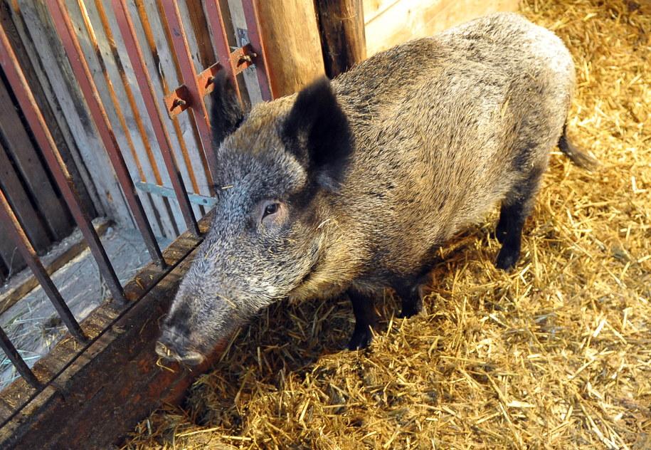 Sfinansowanych zostanie też 5 odłowni dzików, które będą mogły wyłapywać całe stada. /PAP/Marcin Bielecki /PAP