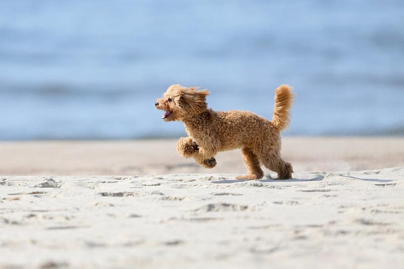 Sierść chroni psa przed promieniowaniem ultrafioletowym