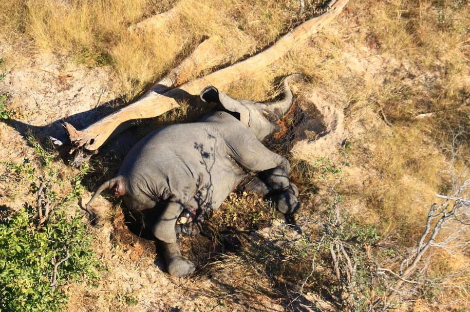 Sinice przyczyną tajemniczego masowego wymierania słoni /STRINGER /PAP/EPA