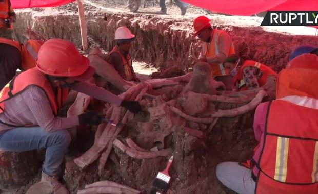 Skamieliny dziesiątek mamutów. Niesamowite odkrycie pod Meksykiem