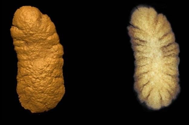 Skamieliny skomplikowanych wielokomórkowych form życia /materiały prasowe