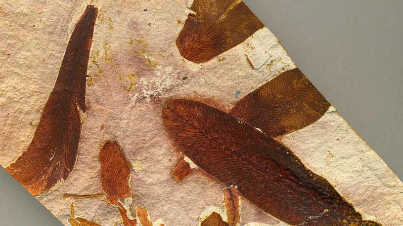 Skamieniała roślina z okresu wymierania permskiego /materiały prasowe