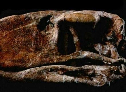 Skamieniałe szczątki Tytanisa: dziób /MWMedia