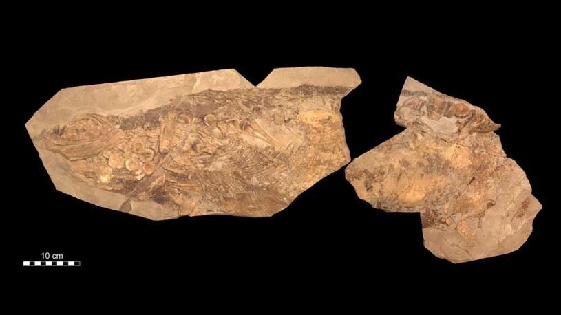 Skamieniałość znaleziona w Holzmaden sugeruje, że ichtiozaury były ciepłokrwiste /materiały prasowe
