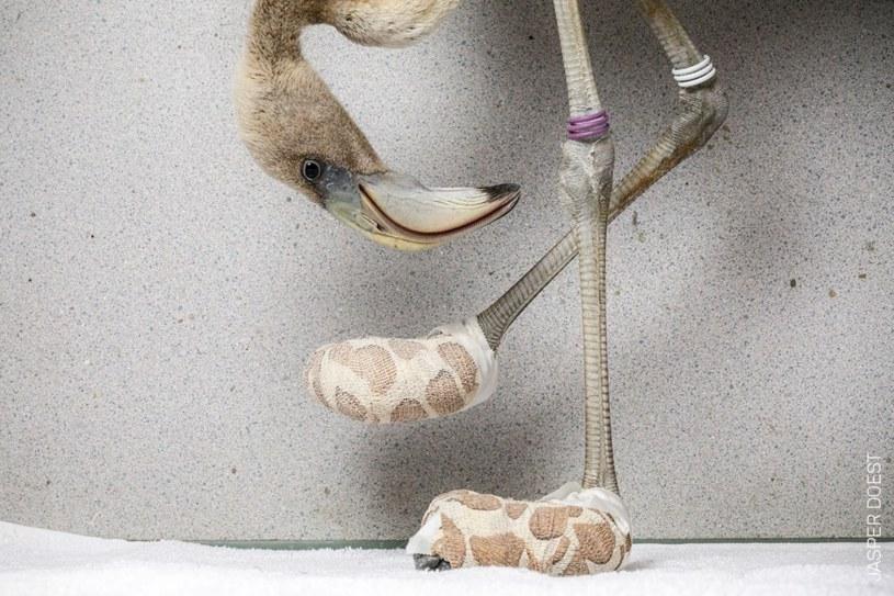 Skarpetki miały pomóc w leczeniu łapek flaminga /Jasper Doest /materiały prasowe