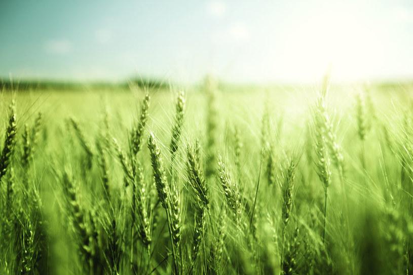 Skład zielonego jęczmienia /©123RF/PICSEL