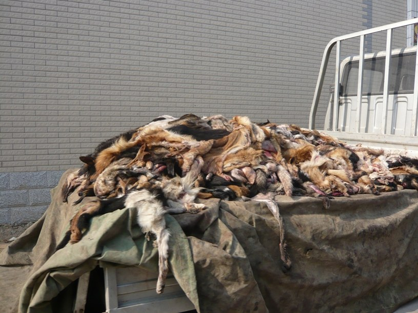 Skóry zdjęte z zabitych psów fot. PETA /&nbsp