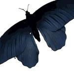 Skrzydła motyla kluczem do wydajniejszych ogniw słonecznych