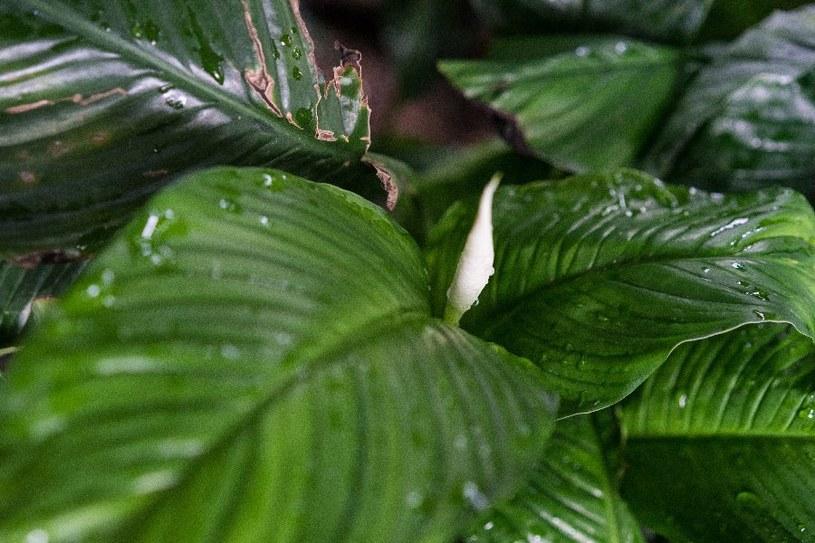 Skrzydłokwiat nie cierpi przeciągu /©123RF/PICSEL