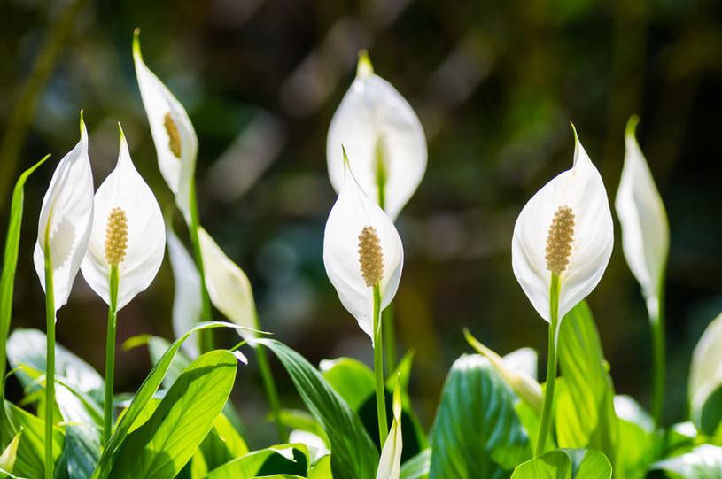Skrzydłokwiat to piękna roślina, która oczyszcza powietrze /123RF/PICSEL