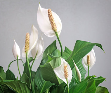 Skrzydłokwiat: Zasady pielęgnacji