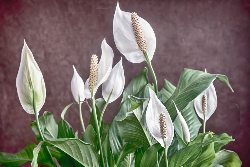 Skrzydłokwiat /©123RF/PICSEL