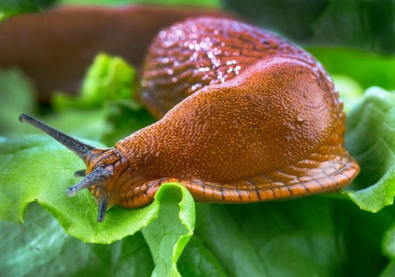 Ślimak w ogrodzie /©123RF/PICSEL