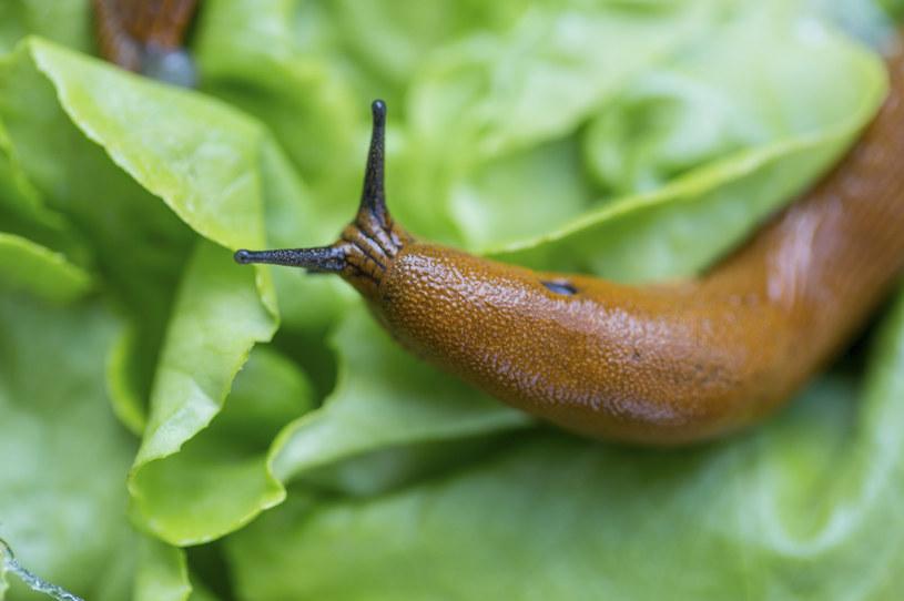Ślimaki często uszkadzają posadzone kwiaty i warzywa /123RF/PICSEL