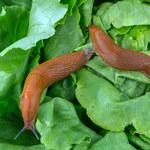 Ślimaki w ogrodzie: Jak się ich pozbyć?