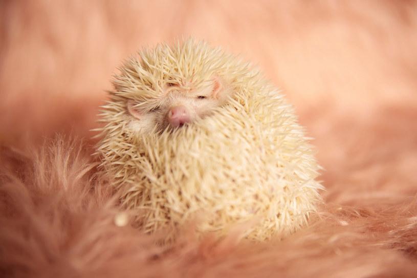 Słodki albinos? /123RF/PICSEL