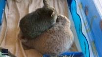 Słodki mały wombat przytula swoją zabawkę