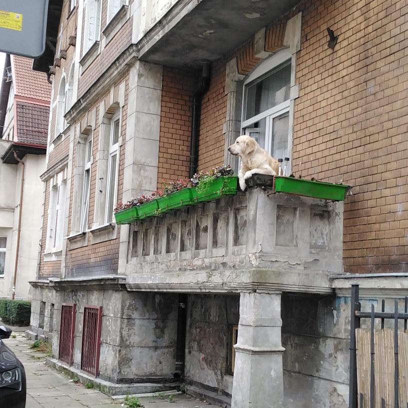 Słodki pies na balkonie doczekał się kilkuset recenzji na mapach Google /Facebook / Pjes z balkonu na rogu Politechnicznej i Bohaterów Getta Warszawskiego /Facebook