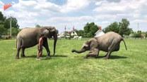 Słoń przyklęknął i zrobił to... Zdumiewające