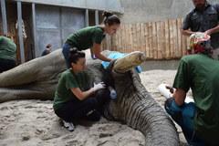 Słoń u dentysty. Ninio stracił drugi cios