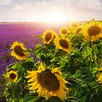 Słonecznik: Zanim podasz antybiotyk