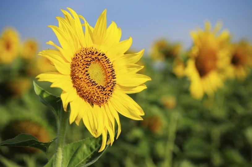 słoneczniki na cukrzyce /© Photogenica