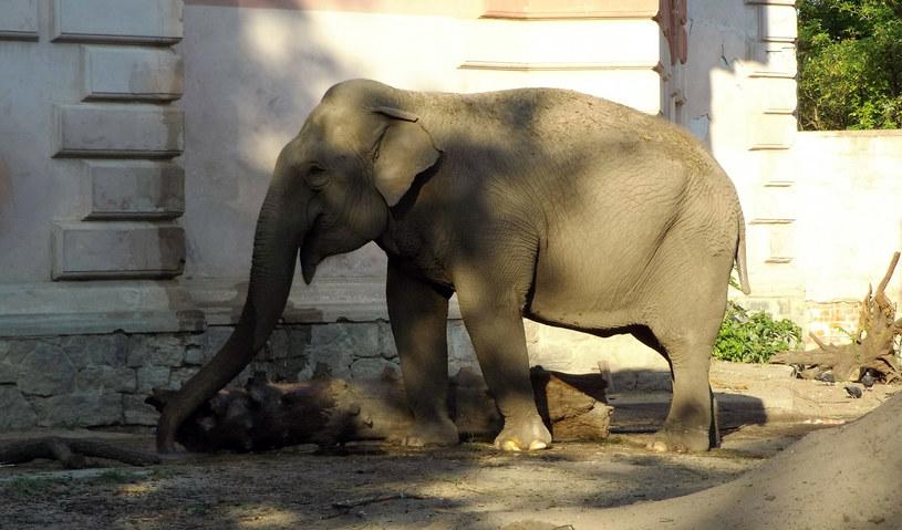 Słonica Birma z wrocławskiego zoo /Styl.pl