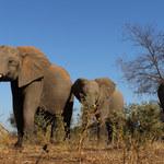 Słonie afrykańskie pochodzą także z Polski? Są na to dowody