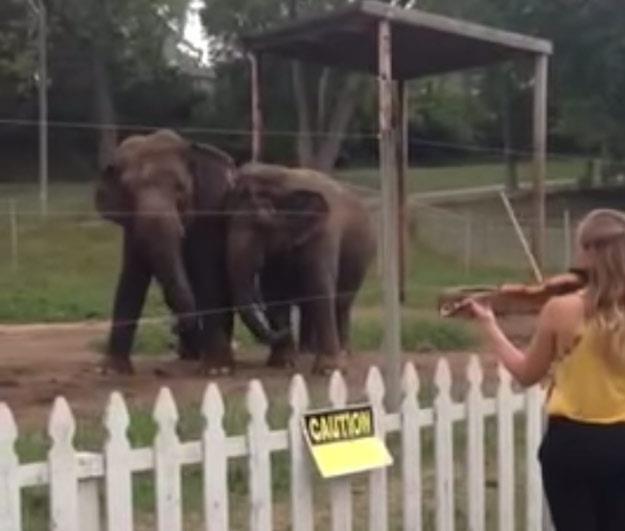 Słonie doceniają muzykę klasyczną /