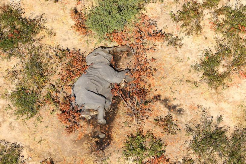 Słonie masowo ginęły z powodu sinic w wodzie /AFP /East News