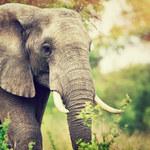 Słonie mogą wyginąć do 2040 r.