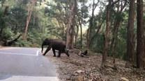 Słonie przechodzą przez drogę w Indiach