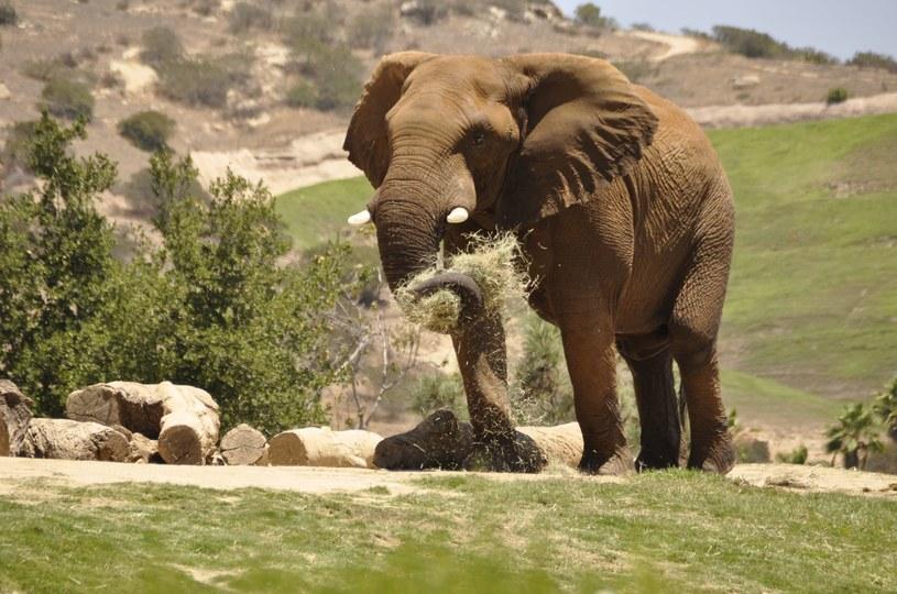 Słonie też mają święto! Zdj. ilustracyjne /123RF/PICSEL