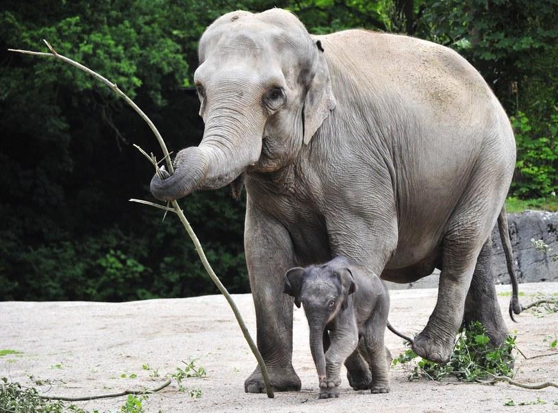 Słonie z ogrodu zoologicznego Hagenbeck /Romero/face to face /Reporter