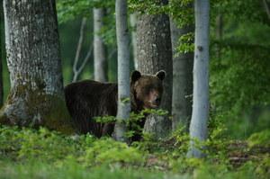 """Słowacja: Niedźwiedź zabił mężczyznę. """"Ich populacja rośnie szybko"""""""
