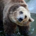 Słowak przeżył atak niedźwiedzia