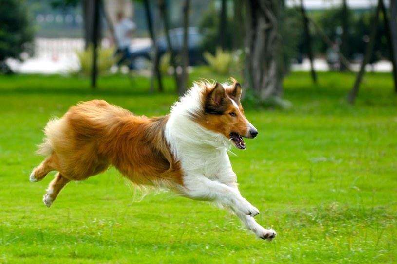 Słynny Lassie rzeczywiście może być najlepszym przyjacielem naszych dzieci /123RF/PICSEL