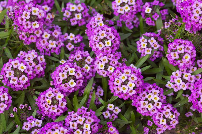 Smagliczka piękna i wdzięczna w uprawie roślina ogrodowa /INTERIA.PL